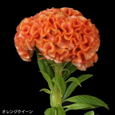 オレンジクイーン